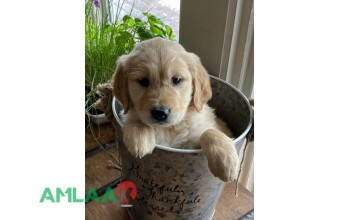 Golden Retrievers (Purebred) for sale