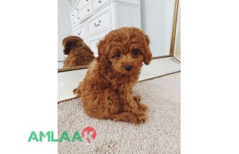 Cute toy poodle puppies available for sale