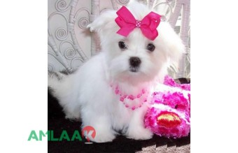 Awesome Teacup Maltese Puppies available for rehoming