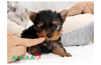 Adorable Teacup Yorkie puppies available now